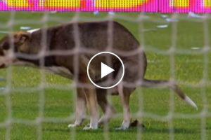 Cão Invade Estádio Para Fazer Necessidades!!! 10