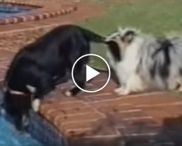 Quantos Cães São Precisos Para Tirar Uma Bola Da Piscina? 8