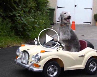 Cão Tem a Incrível Capacidade De Conduzir Um Mini Rolls Royce 7