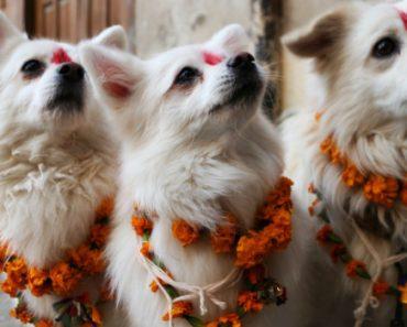Todos Os Anos Os Cães São Homenageados Em Festival No Nepal, Pela Sua Amizade e Lealdade 1