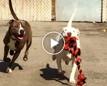 Pitbull Surda Chora Agarrada a Um Brinquedo Depois Da Sua Melhor Amiga Ter Sido Adotada 3