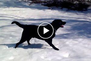 Este Labrador Sabe Como Se Divertir Num Dia De Neve 10