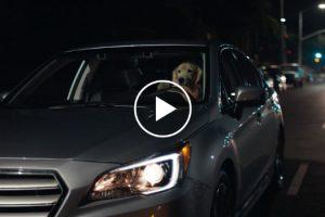 Cães Testam e Aprovam o Novo Modelo Subaru 10