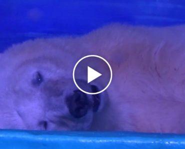 Urso Polar Com Grave Depressão Vive Em Jaula De Vidro Para Que Pessoas Possam Tirar Selfies 1