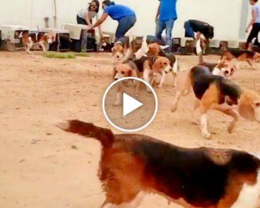 156 Beagles Veem o Sol Pela 1ª Vez Depois De Serem Resgatados De Laboratório 8