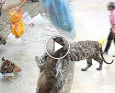 Turistas Brincam Com Tigres Na Tailândia 8