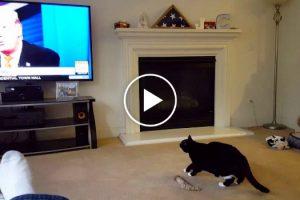 Gato Assusta-se e Foge Sempre Que Vê Donald Trump Na Televisão 9