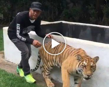 Tigre Comporta-Se Como Um Gatinho Brincalhão Depois De Se Assustar 9