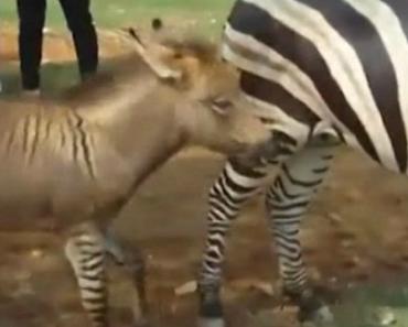 O Que Resulta Do Acasalamento Entre Um Burro e Uma Zebra? 3