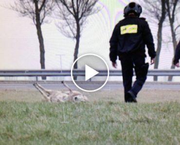 Polícias Ajudam Ovelha Em Apuros Depois De Ser Avistada Por Helicóptero Policial 2