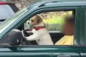 """Vídeo Capta Momento Insólito De Cão a """"Conduzir"""" Um Carro Na Ilha Da Madeira 10"""