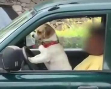 """Vídeo Capta Momento Insólito De Cão a """"Conduzir"""" Um Carro Na Ilha Da Madeira 8"""