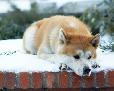 A História De Hachiko, O Cão Que Esperou Pelo Seu Dono Durante 10 Anos 4