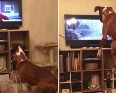Boxer Não Consegue Parar De Saltar Ao Ver Outro Cão Na Tv a Pular Num Trampolim 2