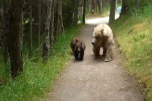 Homem Fica Cara-a-Cara Com Urso e Duas Crias Num Trilho Apertado, Veja Como Resolveu o Assunto 10