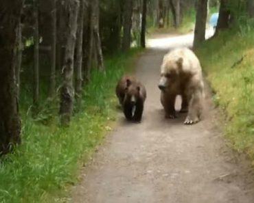 Homem Fica Cara-a-Cara Com Urso e Duas Crias Num Trilho Apertado, Veja Como Resolveu o Assunto 7
