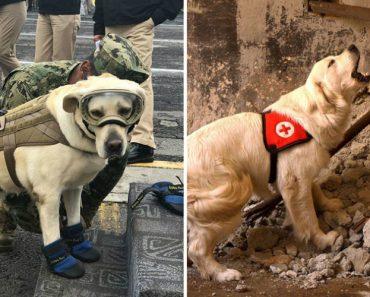 Conheça A Cadela Mexicana Que Já Salvou 52 Vidas Em Terremotos 4