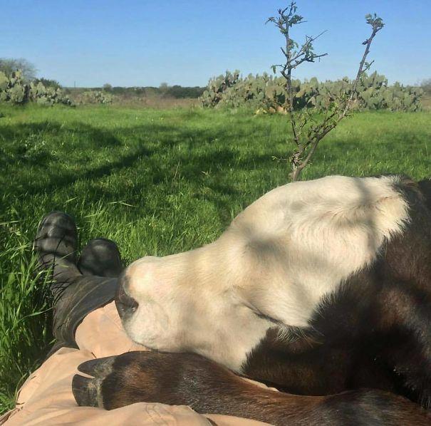Algumas Imagens Que Provam Que Vaquinhas São Como Cães Em Tamanho Grande 1