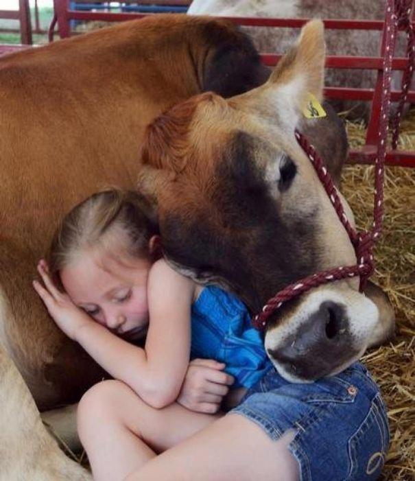 Algumas Imagens Que Provam Que Vaquinhas São Como Cães Em Tamanho Grande 11