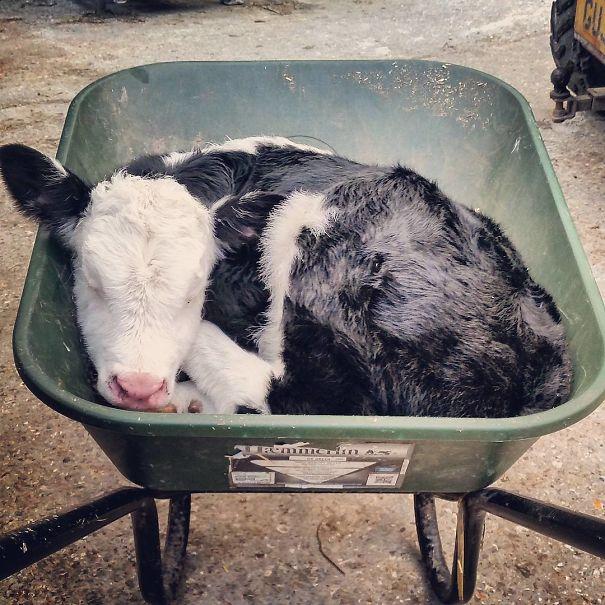 Algumas Imagens Que Provam Que Vaquinhas São Como Cães Em Tamanho Grande 12