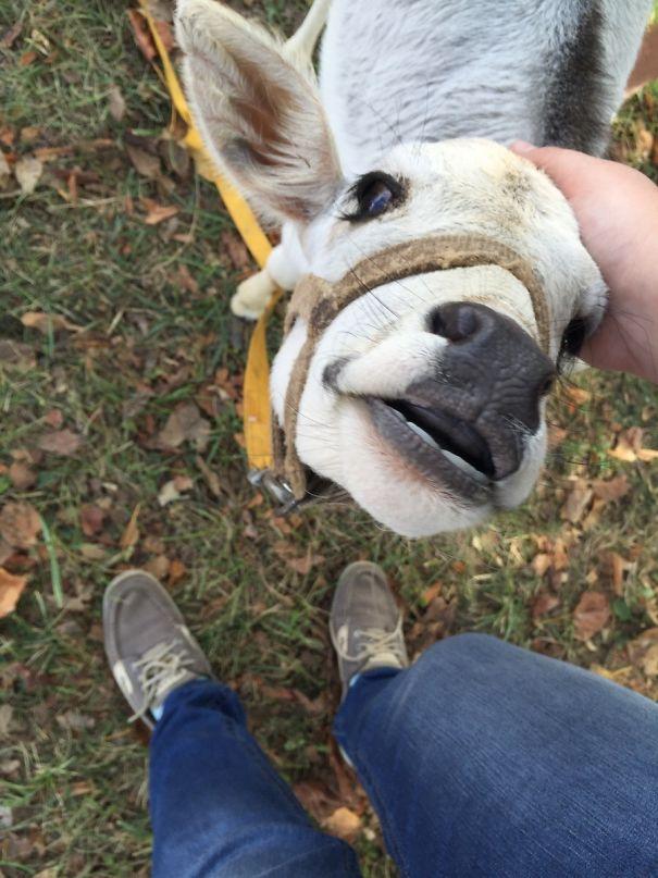Algumas Imagens Que Provam Que Vaquinhas São Como Cães Em Tamanho Grande 14