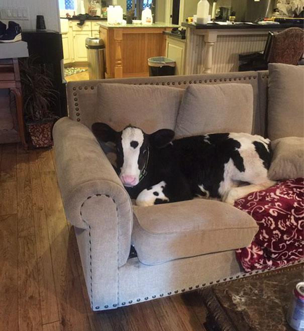 Algumas Imagens Que Provam Que Vaquinhas São Como Cães Em Tamanho Grande 27