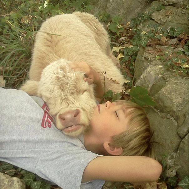 Algumas Imagens Que Provam Que Vaquinhas São Como Cães Em Tamanho Grande 4