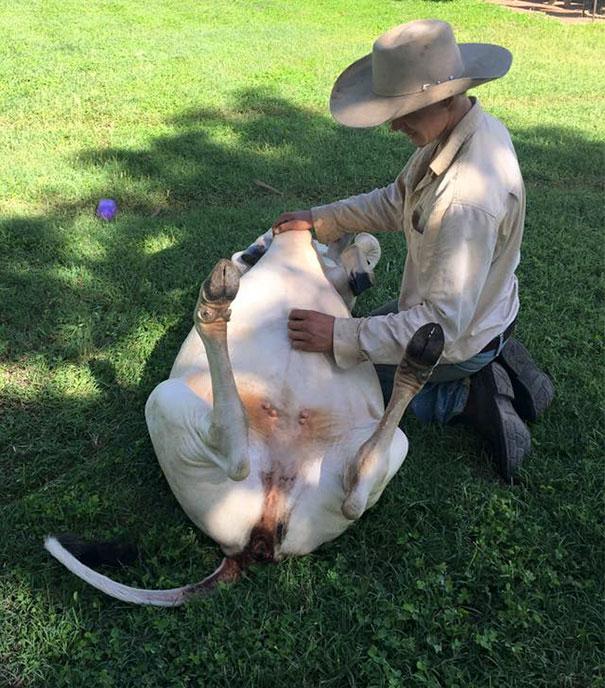 Algumas Imagens Que Provam Que Vaquinhas São Como Cães Em Tamanho Grande 6
