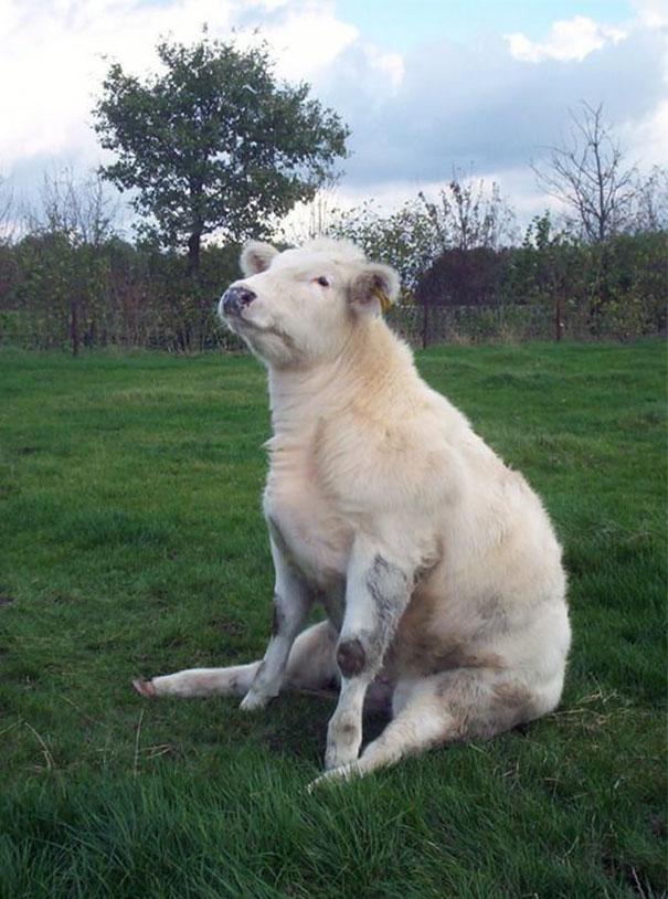 Algumas Imagens Que Provam Que Vaquinhas São Como Cães Em Tamanho Grande 9