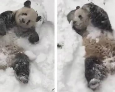 Vídeo De Adorável Panda a Desfrutar Da Neve Torna-se Viral 9