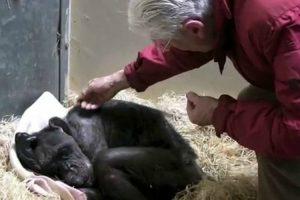 Chimpanzé Doente Recusava-se a Comer Mas Tudo Mudou Assim Que Viu Um Velho Amigo! 10