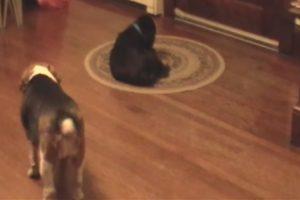 Cão Distrai Amigo Para Conseguir Roubar o Seu Brinquedo Favorito 10