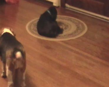 Cão Distrai Amigo Para Conseguir Roubar o Seu Brinquedo Favorito 3