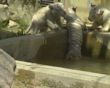 Tigres Brancos Bebés Ajudam Irmão Que Caiu à Água 7