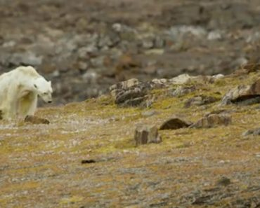 Vídeo De Urso Polar a Morrer à Fome Está a Comover As Redes Sociais 5