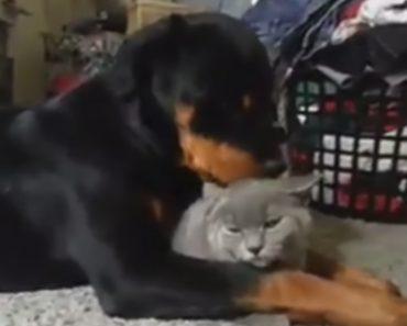 Rottweiler Faz De Gato Um Autêntico Gelado 5