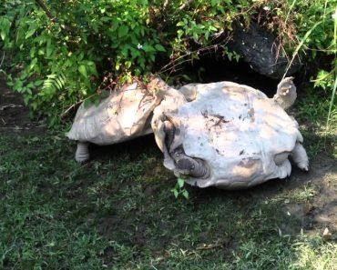 Tartaruga Ajuda a Sua Amiga a Sair De Situação Complicada 5