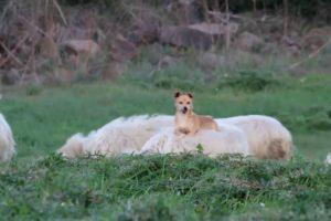 Cão Descobre Que Uma Ovelha é a Cama Móvel Perfeita 10