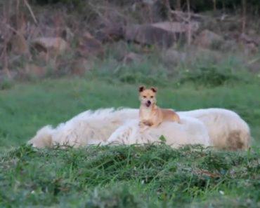 Cão Descobre Que Uma Ovelha é a Cama Móvel Perfeita 7