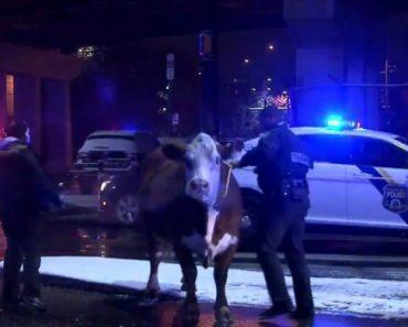 Polícia Persegue Vaca Que Fugiu De Presépio Duas Vezes 7