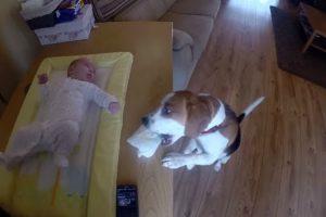 Conheça o Beagle Que Ajuda a Trocar a Fralda Do Bebé 10