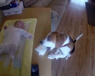 Conheça o Beagle Que Ajuda a Trocar a Fralda Do Bebé 2