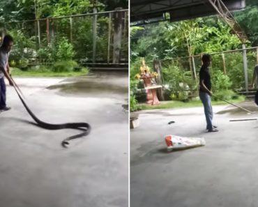 Coragem Não Faltou a Estes Homens Que Não Fazem a Mínima Ideia De Como Se Captura Uma Cobra 4