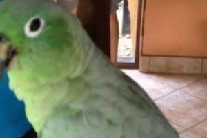 Papagaio Adora Rir e Fazer Rir As Pessoas 10