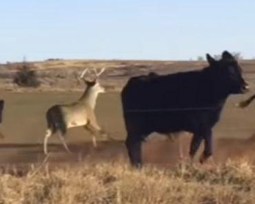 Confuso Veado Pensa Que é Uma Vaca 8
