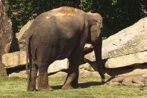 Mãe Elefante Pede Ajuda Aos Tratadores Para Despertar o Seu Bebé Que Não Acorda 7