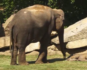 Mãe Elefante Pede Ajuda Aos Tratadores Para Despertar o Seu Bebé Que Não Acorda 1