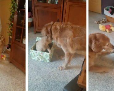 Golden Retriever Fica Encantado Com o Seu Presente De Natal 5