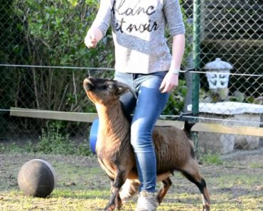 Jovem Consegue Ensinar Incríveis Truques a Uma Galinha e Duas Cabras 9
