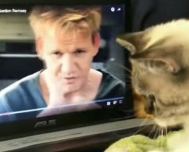 Gato Aprende a Cozinhar Com Gordon Ramsay 3